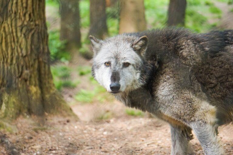 Ulve i den danske natur
